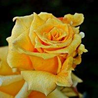 роза желтая :: Александр Корчемный