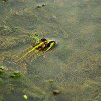 Лягушка в воде :: Даниил Шадрин
