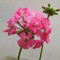 Соцветие пеларгонии. :: сергей