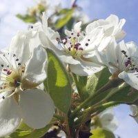 груша цветёт :: вячеслав коломойцев