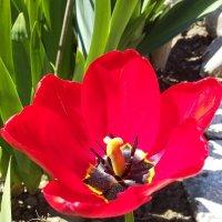 тюльпан красный :: вячеслав коломойцев