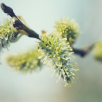Ива цветет :: Alm Lana