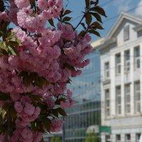 Розовое облако сакуры :: Ольга Винницкая (Olenka)