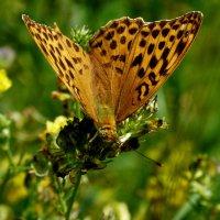 и снова бабочки 144 :: Александр Прокудин