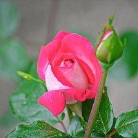 Первая роза этого года :: Юрий Владимирович