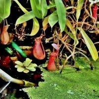 Хищные растения - мастера изящных убийств :: Елена (ЛенаРа)