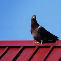 Голубь на крыше. :: сергей