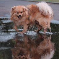 Пёс, который вышел из лужи... :: Irene Irene