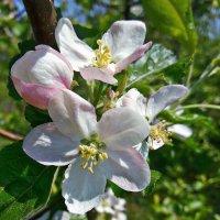 Яблони цвет фото №3 :: Владимир Бровко
