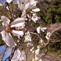 Тюльпанное дерево :: Dimos Izgor