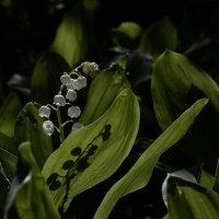 Растет цветок в глуши нетронутой, Прохладен, хрупок и душист. :: Лиана Краснопольская .