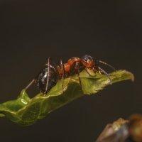 труженик муравей :: Максим Вышарь