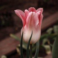 """Из серии """"Время тюльпанов"""" :: Irene Irene"""
