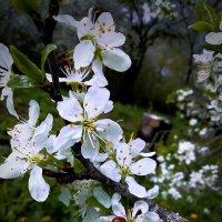 цветение сливы :: Настасья