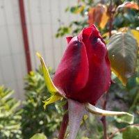 Бутон розы. :: Giant Tao /