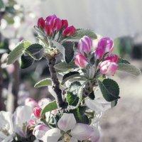 """""""яблони в цвету..."""" :: Александр Никишков"""