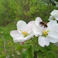 Цветение яблони :: Юрий Кирьянов