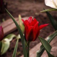 Время тюльпанов :: Irene Irene