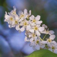 Черемухи цветы :: Алена Рябченко