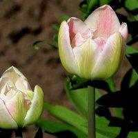 Тюльпанный май :: Надежд@ Шавенкова