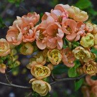 Цветы айвы :: Татьяна