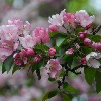 Цвет яблони. :: Анастасия Смирнова