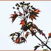 Клён красный цветёт. :: Татьяна Беляева