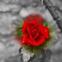 Роза урожая 2020 :: Юрий Гайворонский