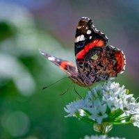 Счастье бабочки :: Владимир Шамота
