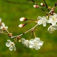 ветка вишни :: ИННА