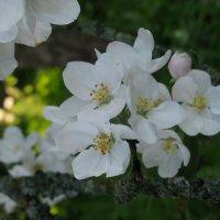 Яблони в цвету... :: ТАТЬЯНА (tatik)