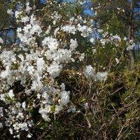 цвет вишни :: ИННА
