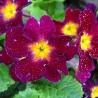 Первоцвет / Примула (Primula vulgaris) :: Денис Бочкарёв