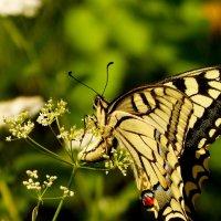 и опять про бабочек..20 :: Александр Прокудин