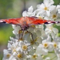 бабочка :: Александр Евдокимчик