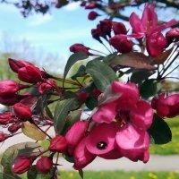Декоративная яблоня Недзвецкого :: veera (veerra)