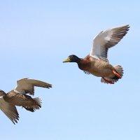 Водоплавающие. Птицы. :: Jakob Gardok