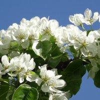 Яблонь цвет... :: kudrni Кудрявцева