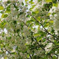 Яблони в цвету- Весны творенье! :: Татьяна Котельникова