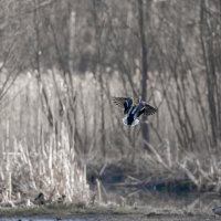 веснна 2020 жизнь маленького лесного пруда. :: юрий макаров