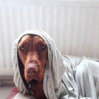 Голди любит  отдыхать комфортно... :: Тамара Бедай