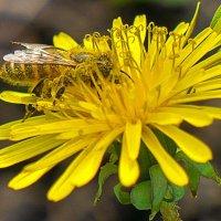 ИЗЗЗзз ЖЖЖжизни одуванчиков,... или столовая насекомышей) :: Арина