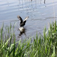 Водяная курица. :: Liudmila LLF