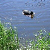 Водяная курица :: Liudmila LLF
