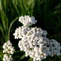 Полевой цветок :: Любовь Рящикова