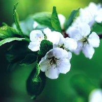 Цветы яблони :: Alexandra