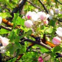 Яблони в цвету - 3 :: Сергей