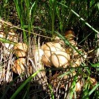 полевые грибы :: Виктор Новиков