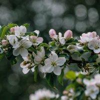 Яблони в цвету :: Юлия Ершова
