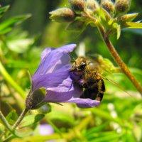 в мире пчёл. :: Виктория Писаренко